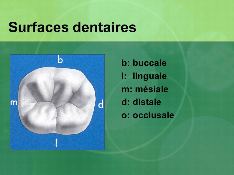 Surfaces dentaires b: buccale l: linguale m: mésiale d: distale