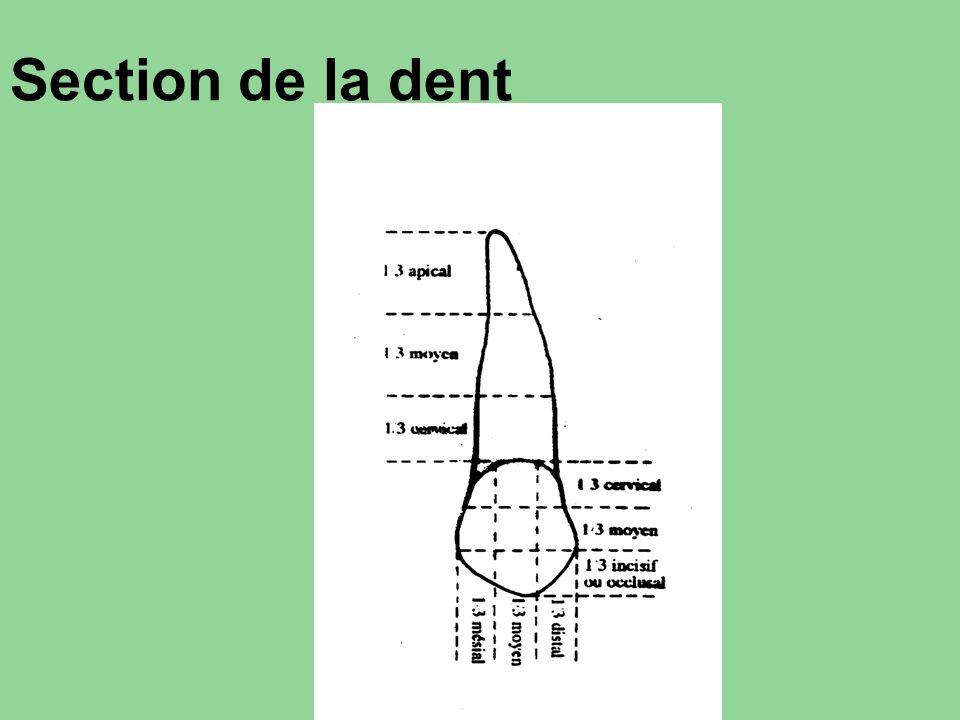 Section de la dent