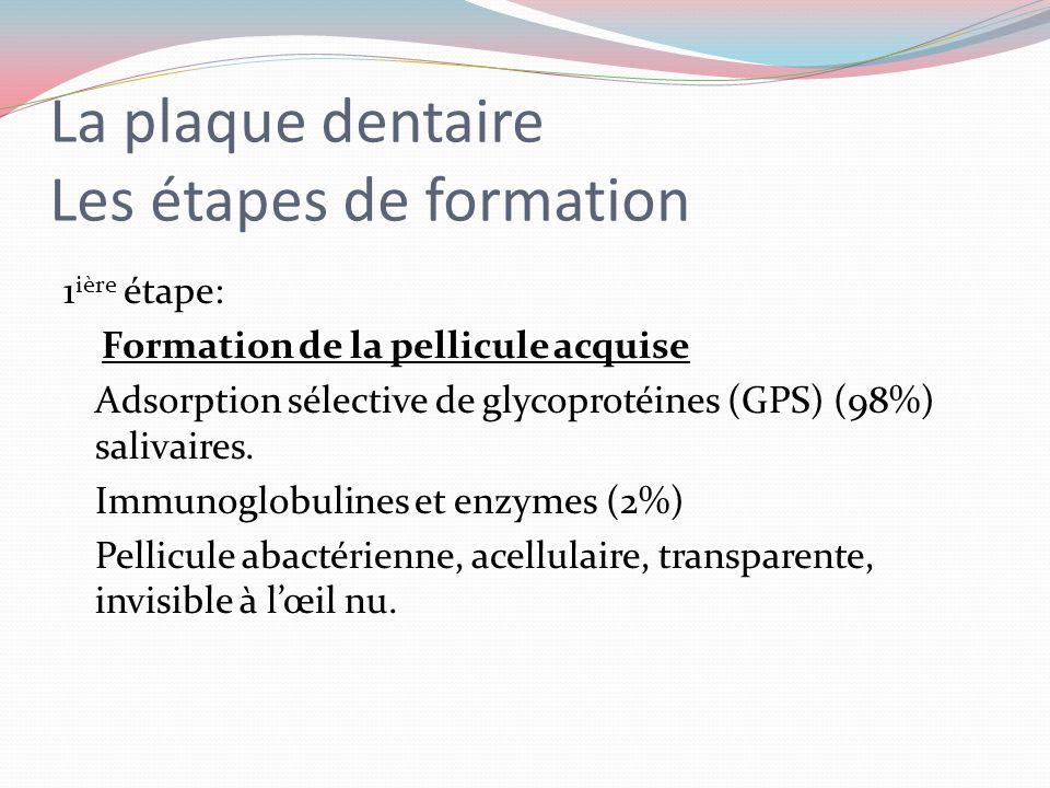 La plaque dentaire Les étapes de formation