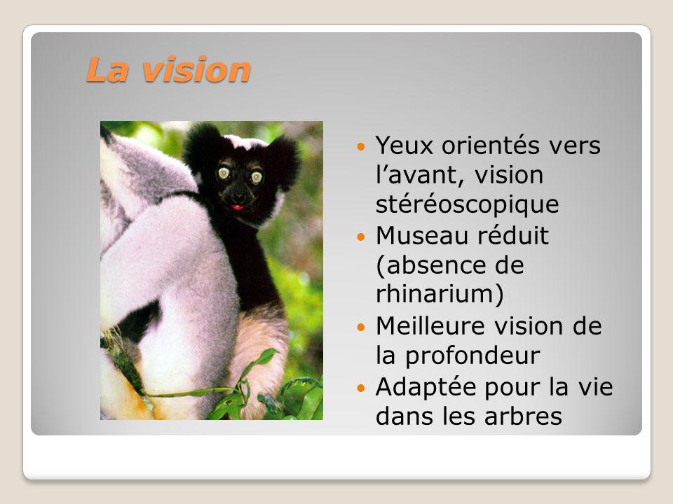 La vision Yeux orientés vers l'avant, vision stéréoscopique