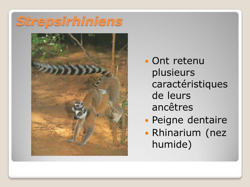 Strepsirhiniens Ont retenu plusieurs caractéristiques de leurs ancêtres.