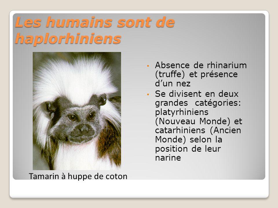 Les humains sont de haplorhiniens