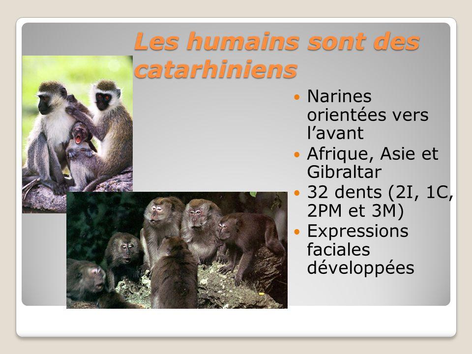 Les humains sont des catarhiniens