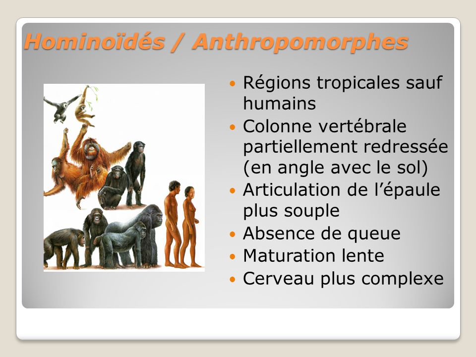 Hominoïdés / Anthropomorphes
