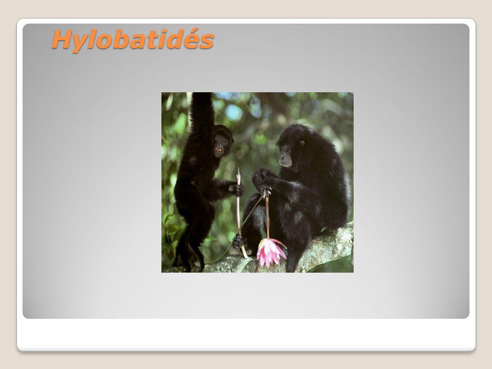 Hylobatidés