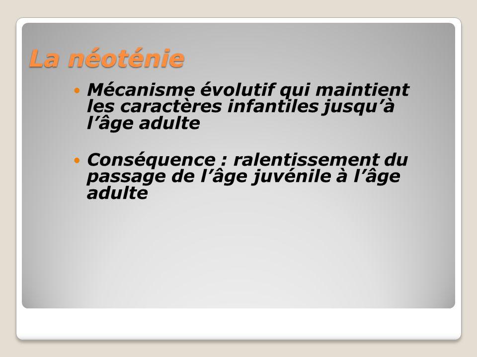 La néoténie Mécanisme évolutif qui maintient les caractères infantiles jusqu'à l'âge adulte.