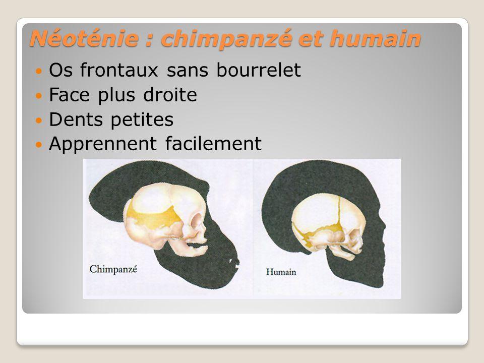 Néoténie : chimpanzé et humain