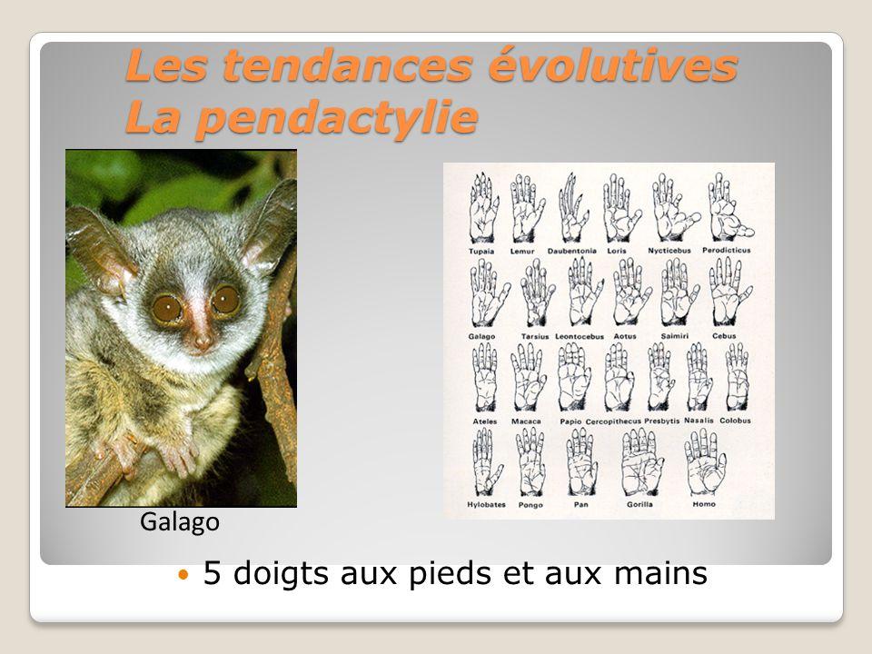 Les tendances évolutives La pendactylie