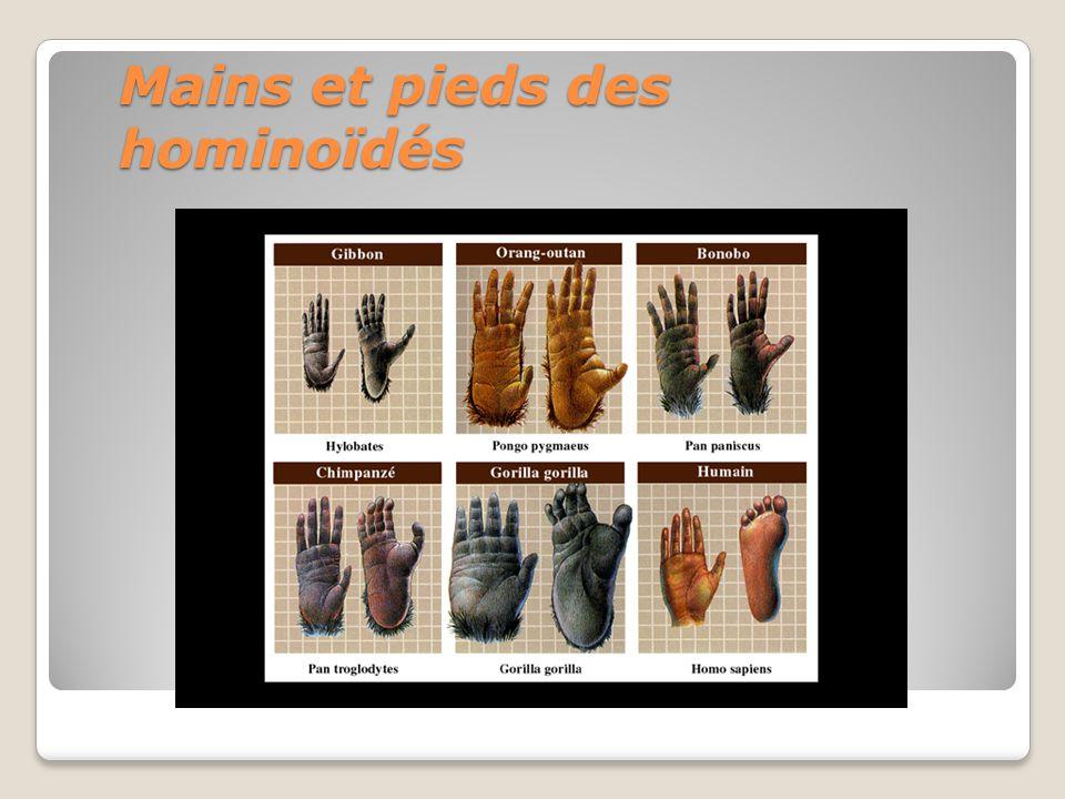 Mains et pieds des hominoïdés