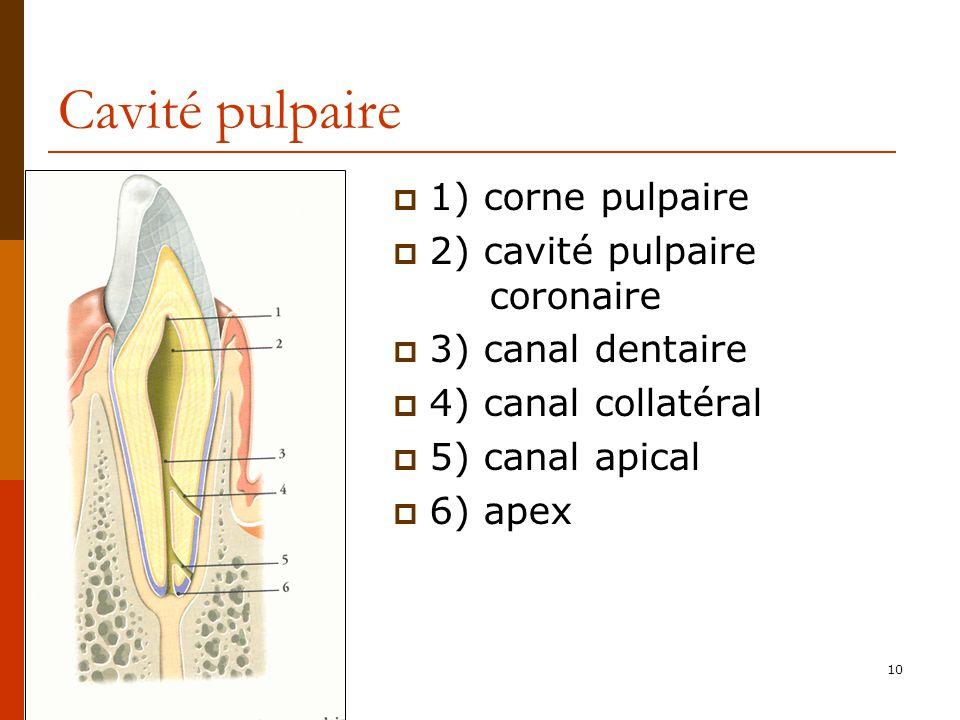 Cavité pulpaire 1) corne pulpaire 2) cavité pulpaire coronaire