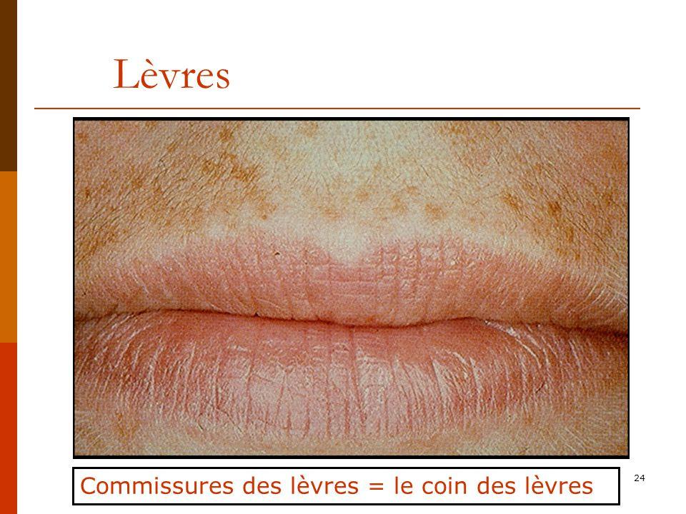 Lèvres Commissures des lèvres = le coin des lèvres