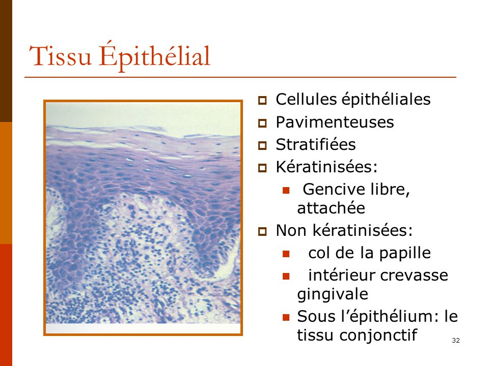 Tissu Épithélial Cellules épithéliales Pavimenteuses Stratifiées