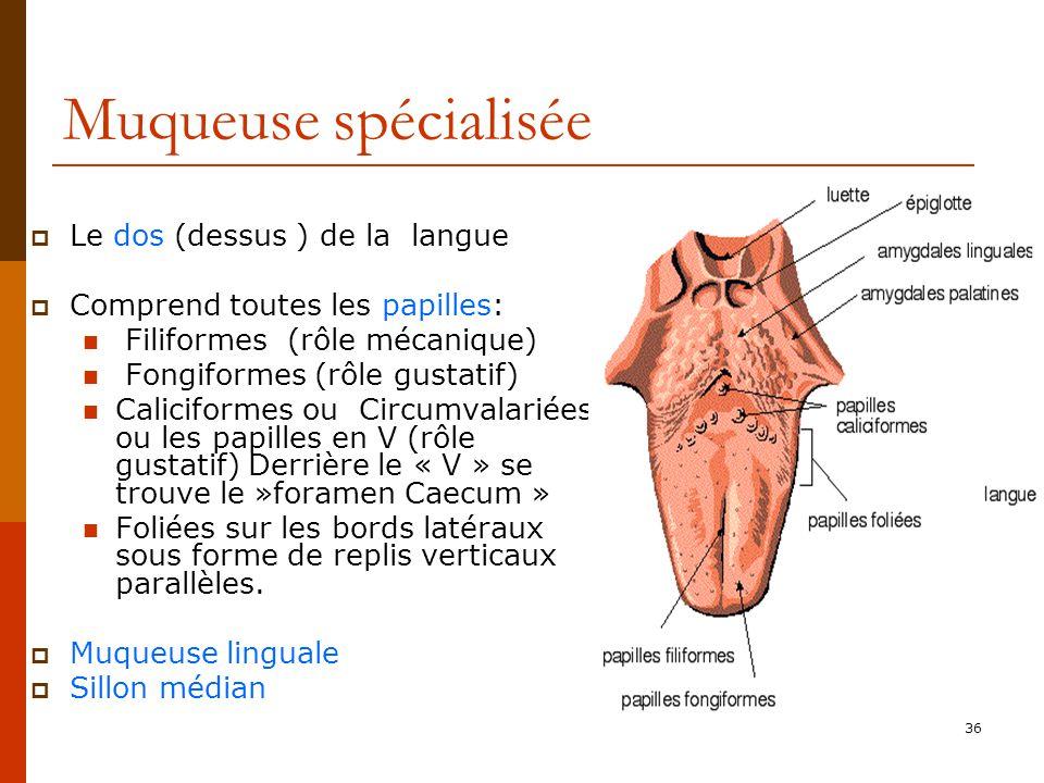 Muqueuse spécialisée Le dos (dessus ) de la langue