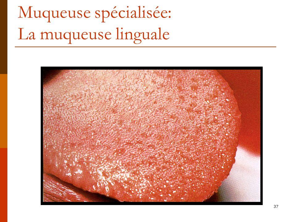 Muqueuse spécialisée: La muqueuse linguale