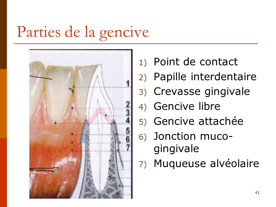 Parties de la gencive Point de contact Papille interdentaire