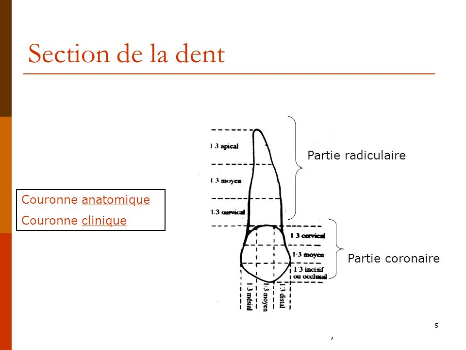 Section de la dent Partie radiculaire Couronne anatomique