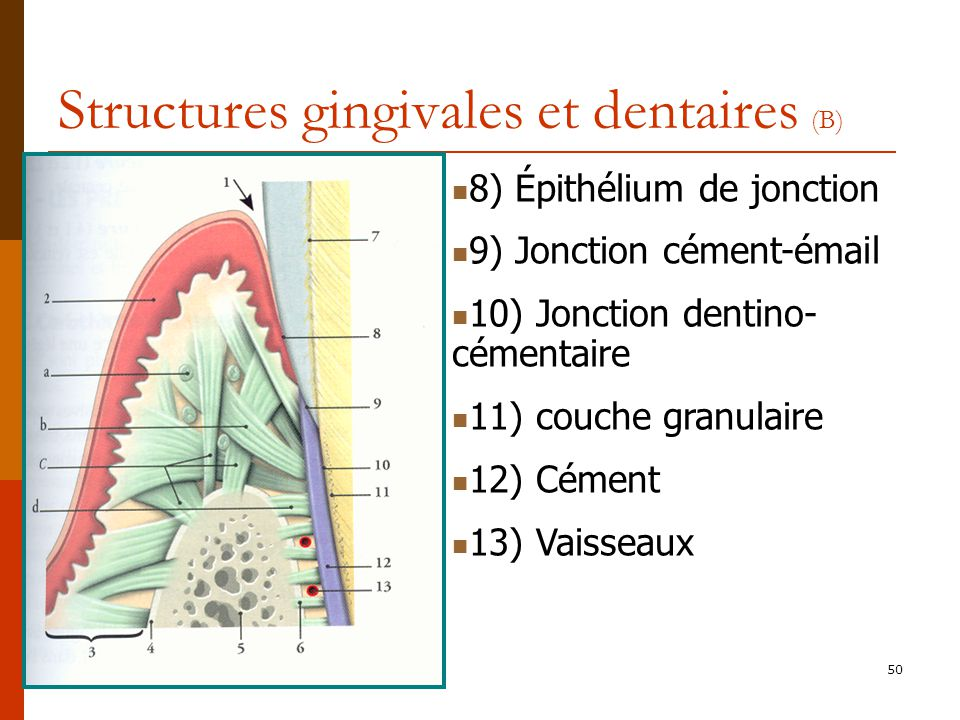Structures gingivales et dentaires (B)