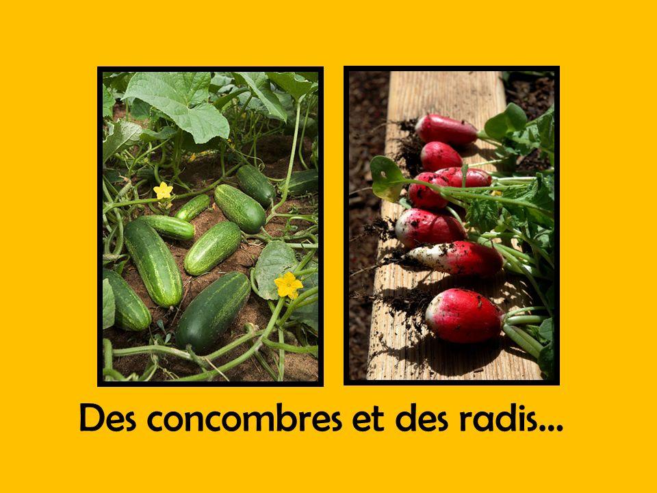 Des concombres et des radis…