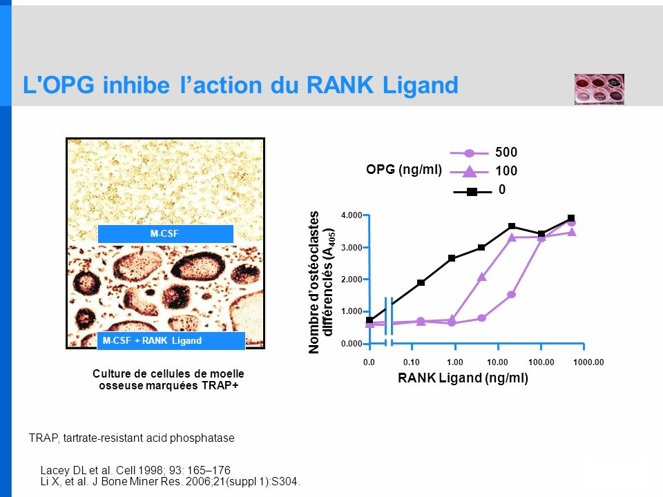 L OPG inhibe l'action du RANK Ligand