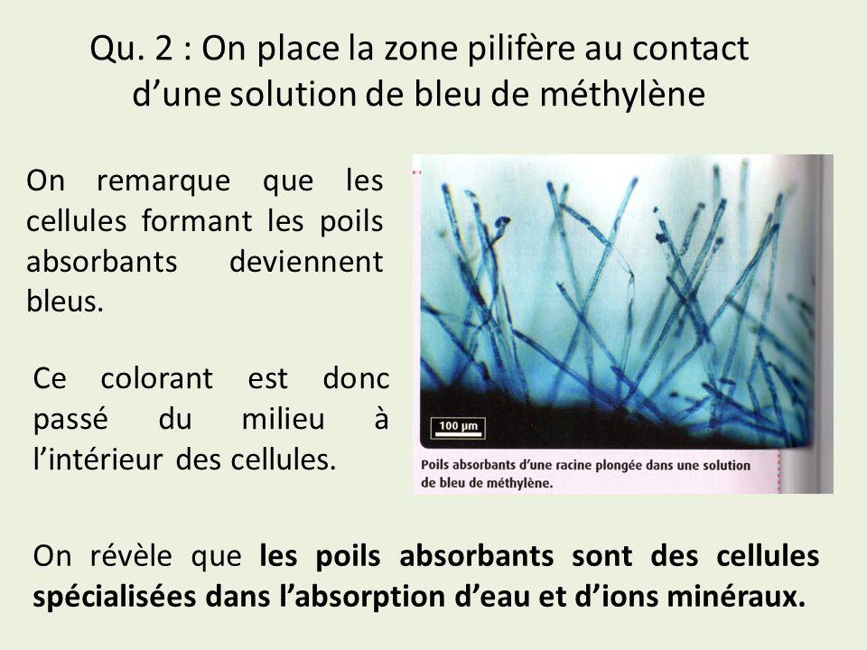 Qu. 2 : On place la zone pilifère au contact d'une solution de bleu de méthylène