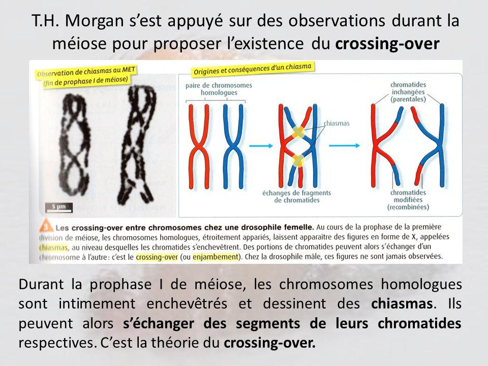 T.H. Morgan s'est appuyé sur des observations durant la méiose pour proposer l'existence du crossing-over