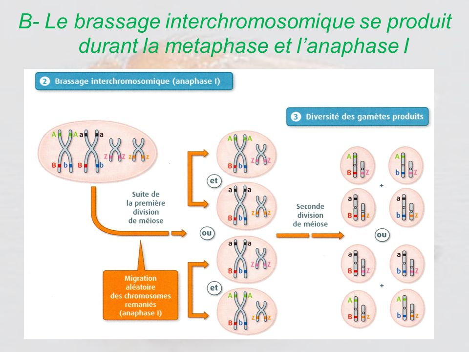 B- Le brassage interchromosomique se produit durant la metaphase et l'anaphase I