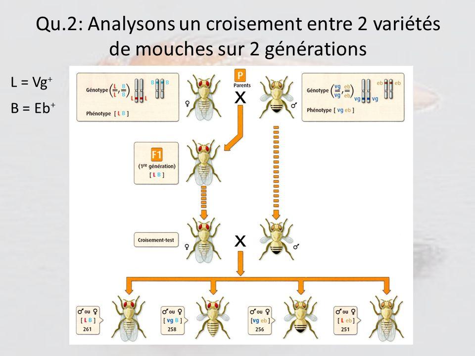 Qu.2: Analysons un croisement entre 2 variétés de mouches sur 2 générations