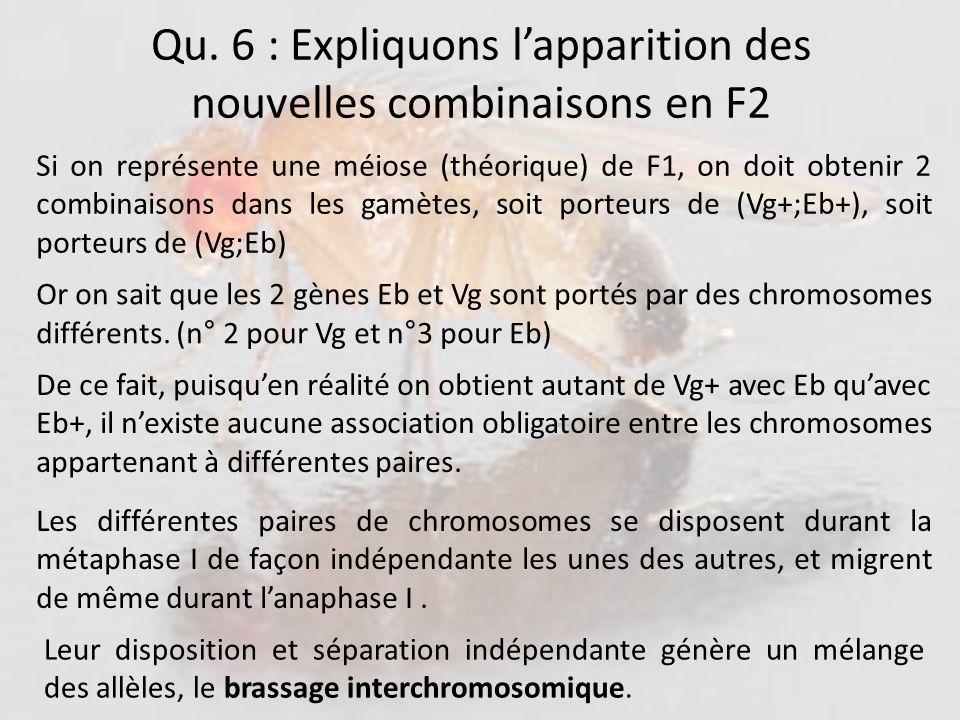 Qu. 6 : Expliquons l'apparition des nouvelles combinaisons en F2
