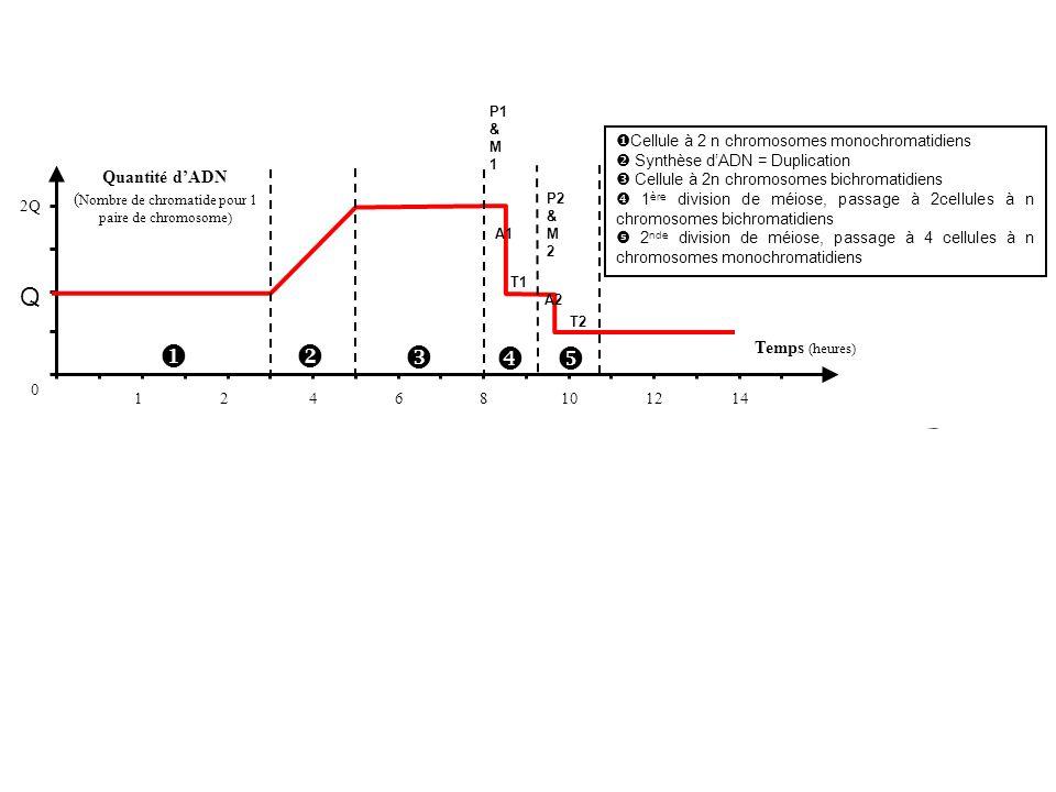 (Nombre de chromatide pour 1 paire de chromosome)