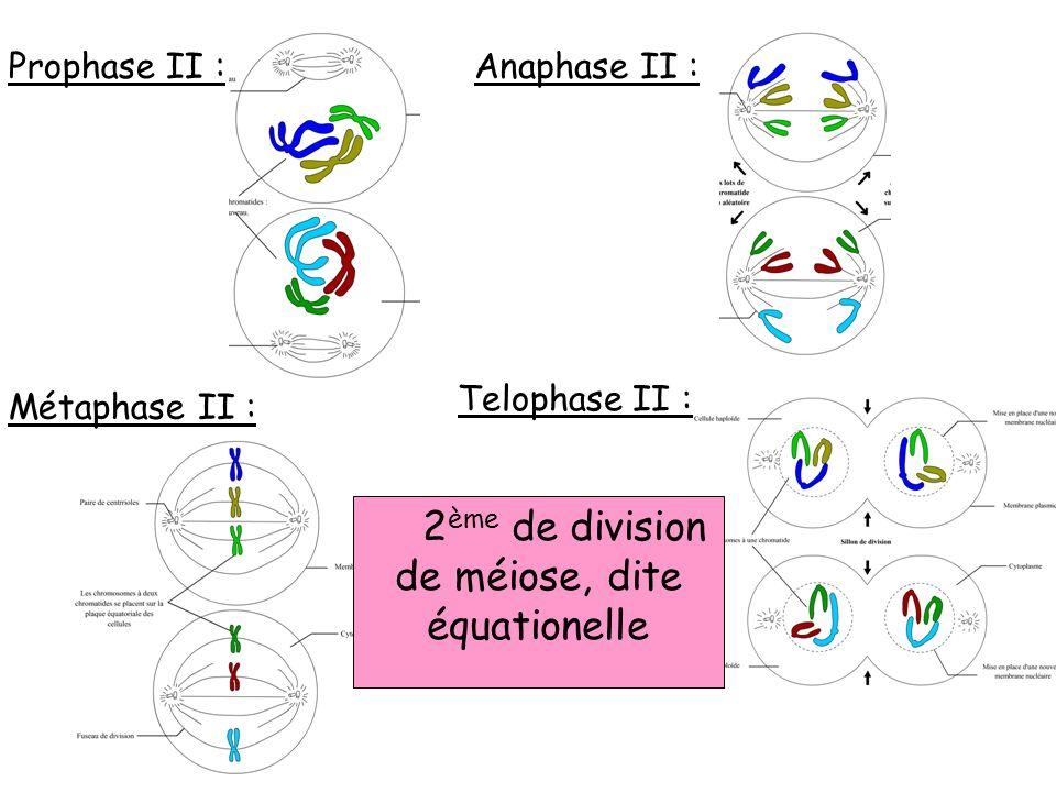 2ème de division de méiose, dite équationelle