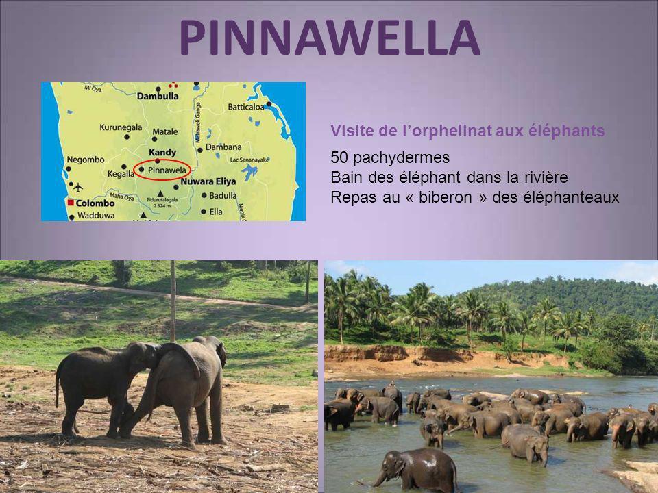 PINNAWELLA Visite de l'orphelinat aux éléphants 50 pachydermes