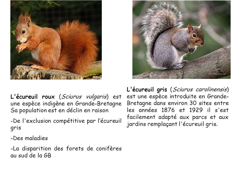 l Écureuil gris: Sciurus carolinensis.