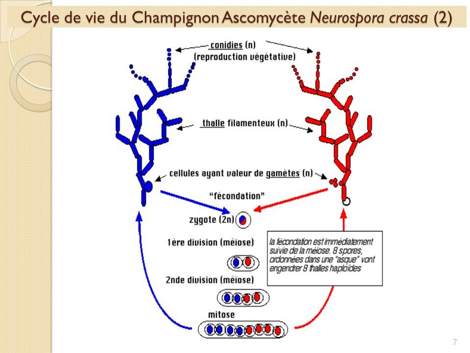 Cycle de vie du Champignon Ascomycète Neurospora crassa (2)