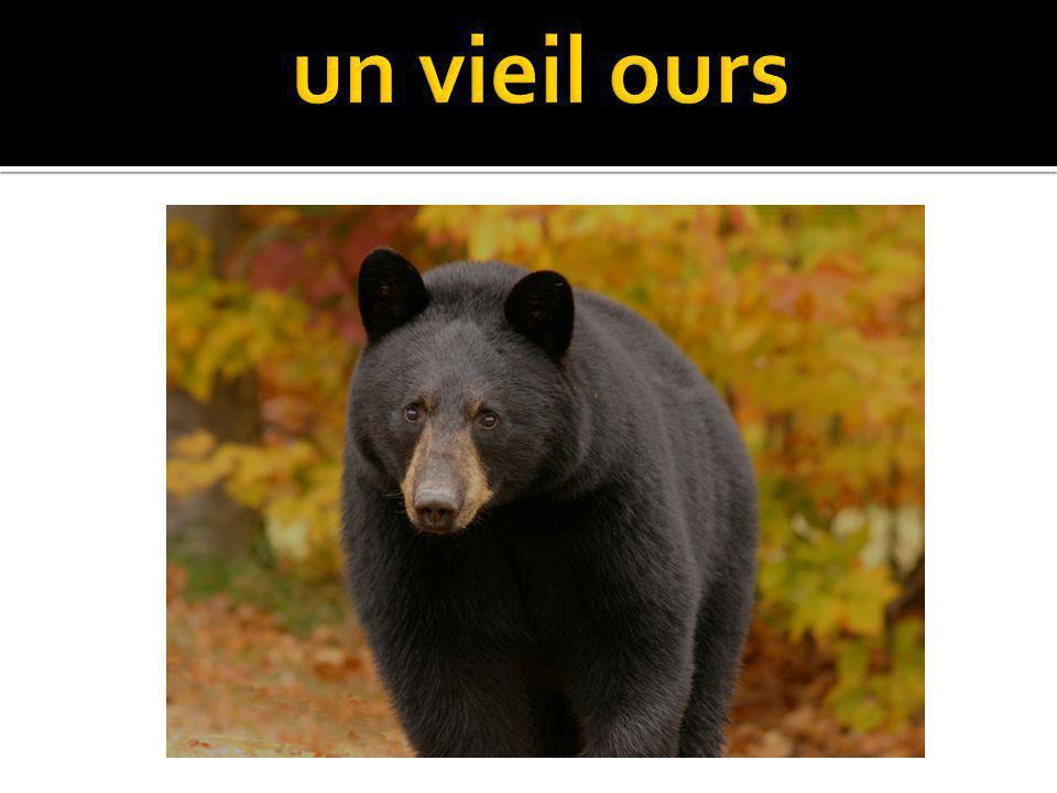 un vieil ours