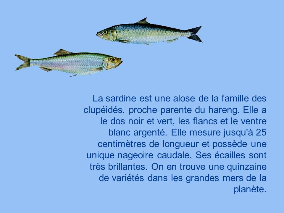 La sardine est une alose de la famille des clupéidés, proche parente du hareng.