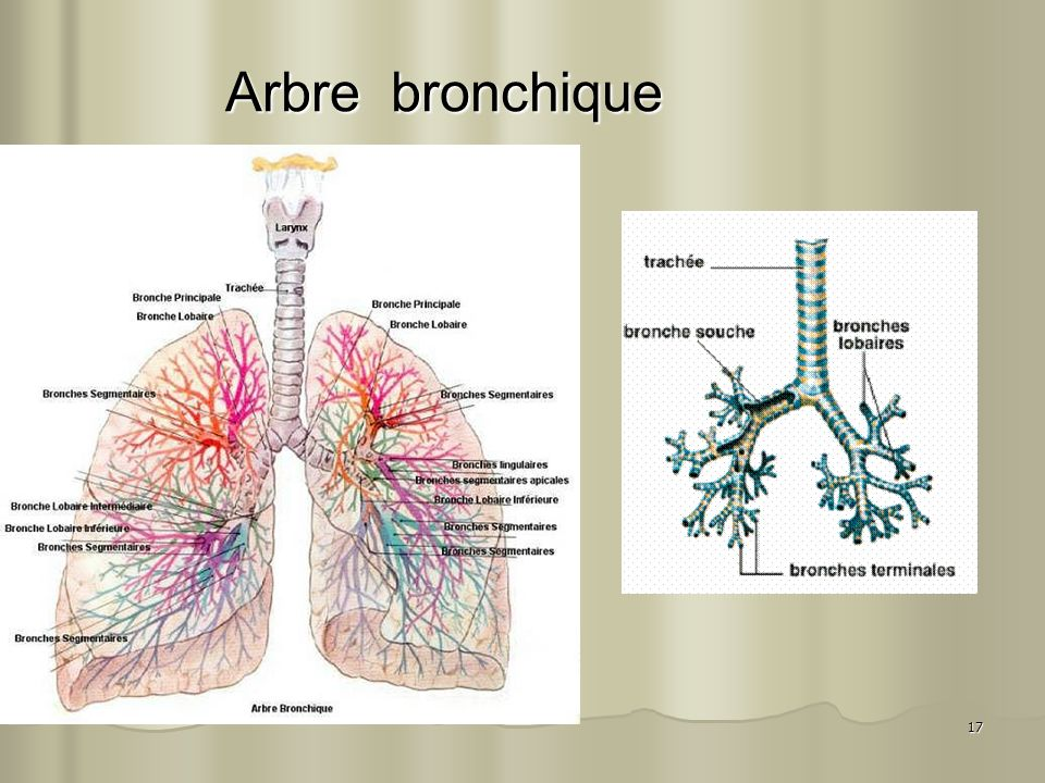 Arbre bronchique
