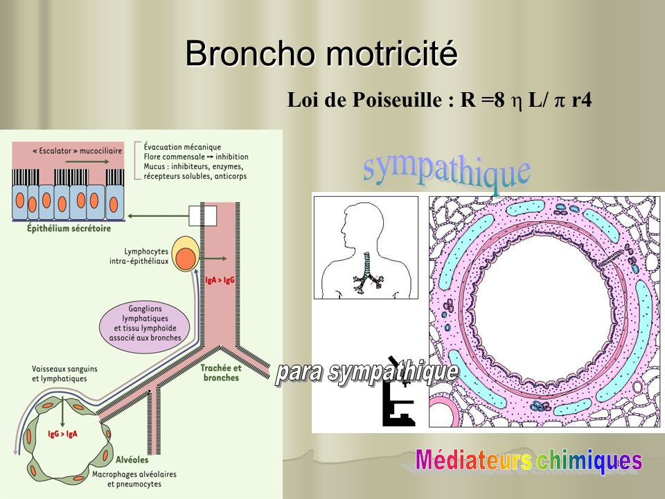 Broncho motricité sympathique Loi de Poiseuille : R =8 η L/ π r4