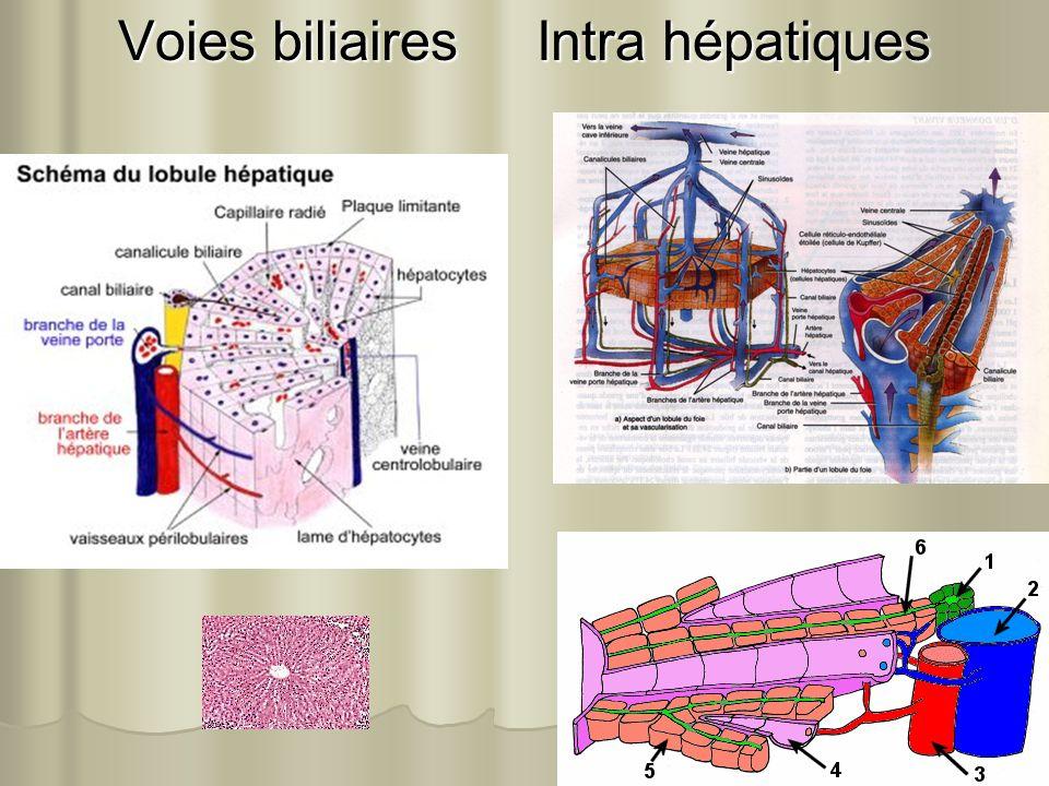 Voies biliaires Intra hépatiques