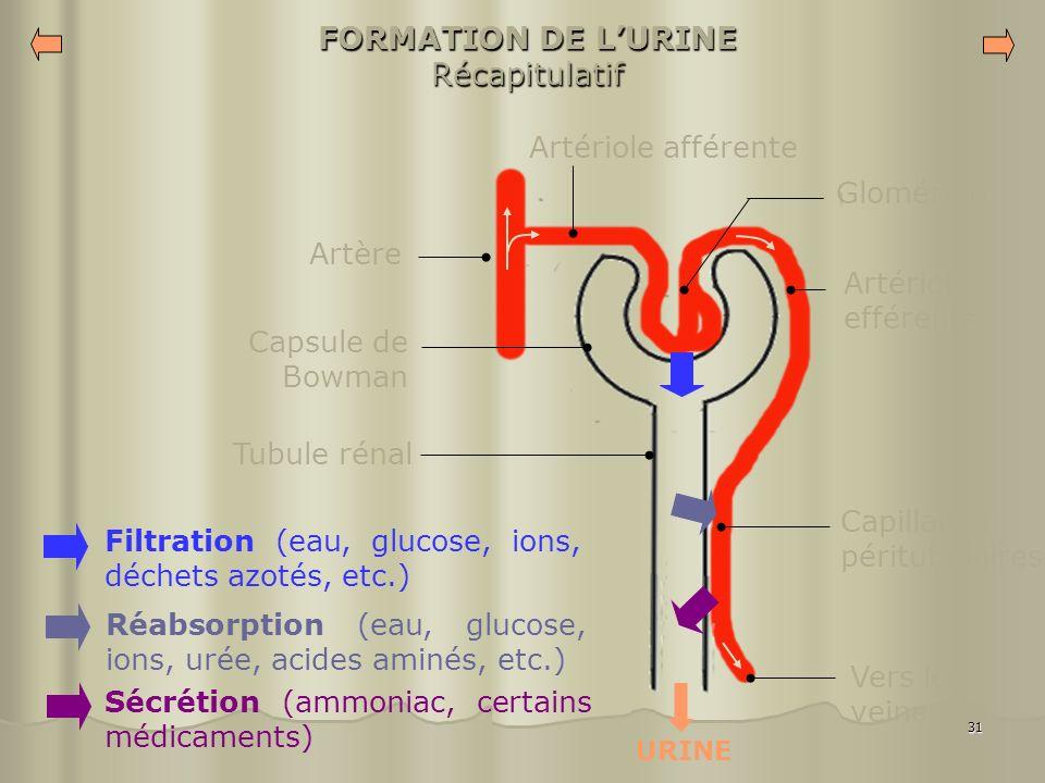 FORMATION DE L'URINE Récapitulatif