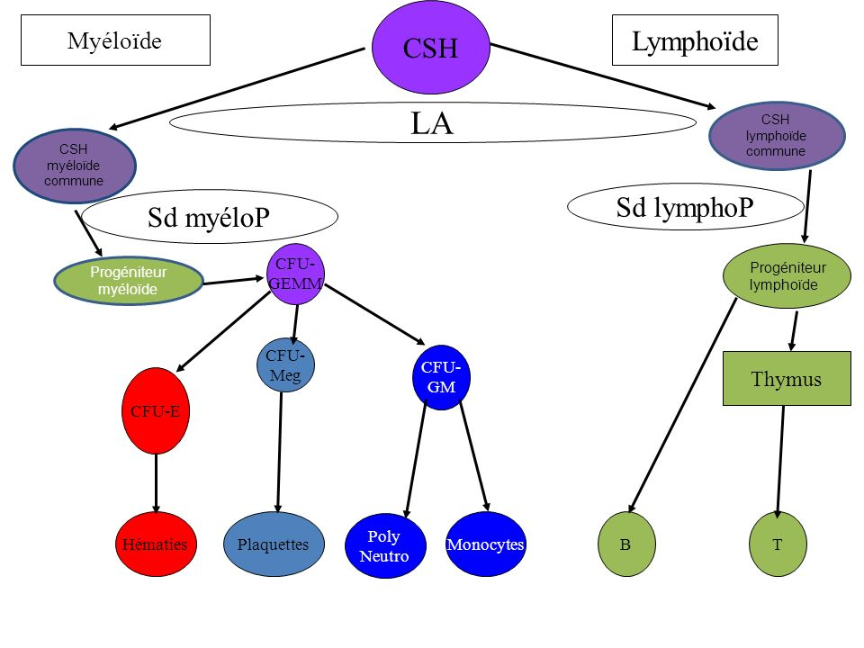 LA CSH Lymphoïde Sd lymphoP Sd myéloP Myéloïde Thymus CFU- GEMM CFU-
