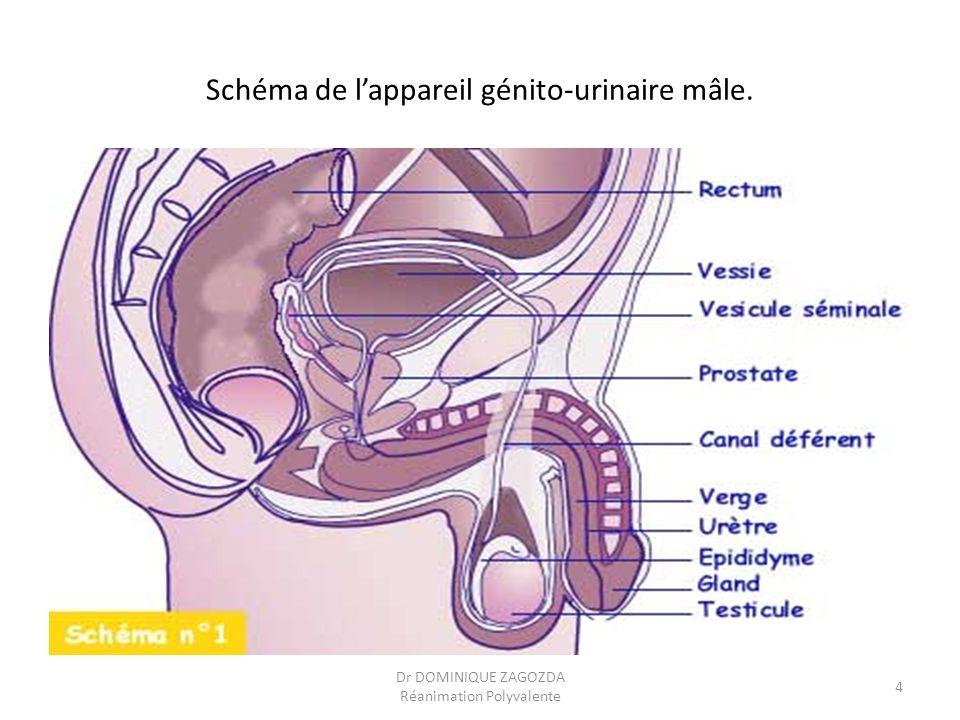 Schéma de l'appareil génito-urinaire mâle.