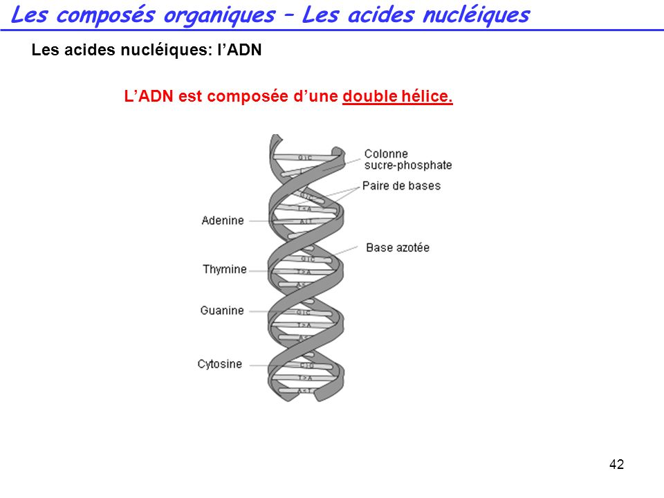 Les acides nucléiques: l'ADN