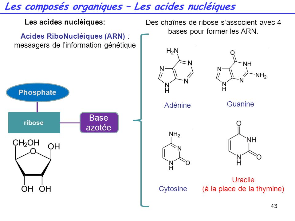 Les acides nucléiques: