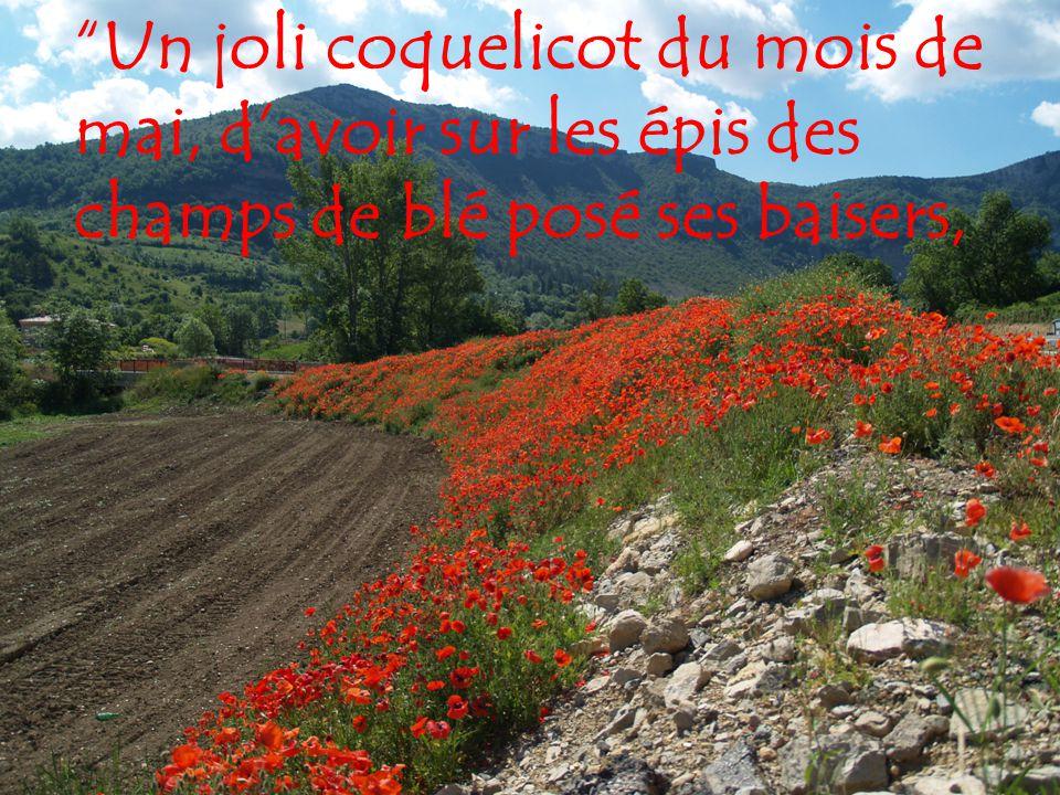 Un joli coquelicot du mois de mai, d'avoir sur les épis des champs de blé posé ses baisers,