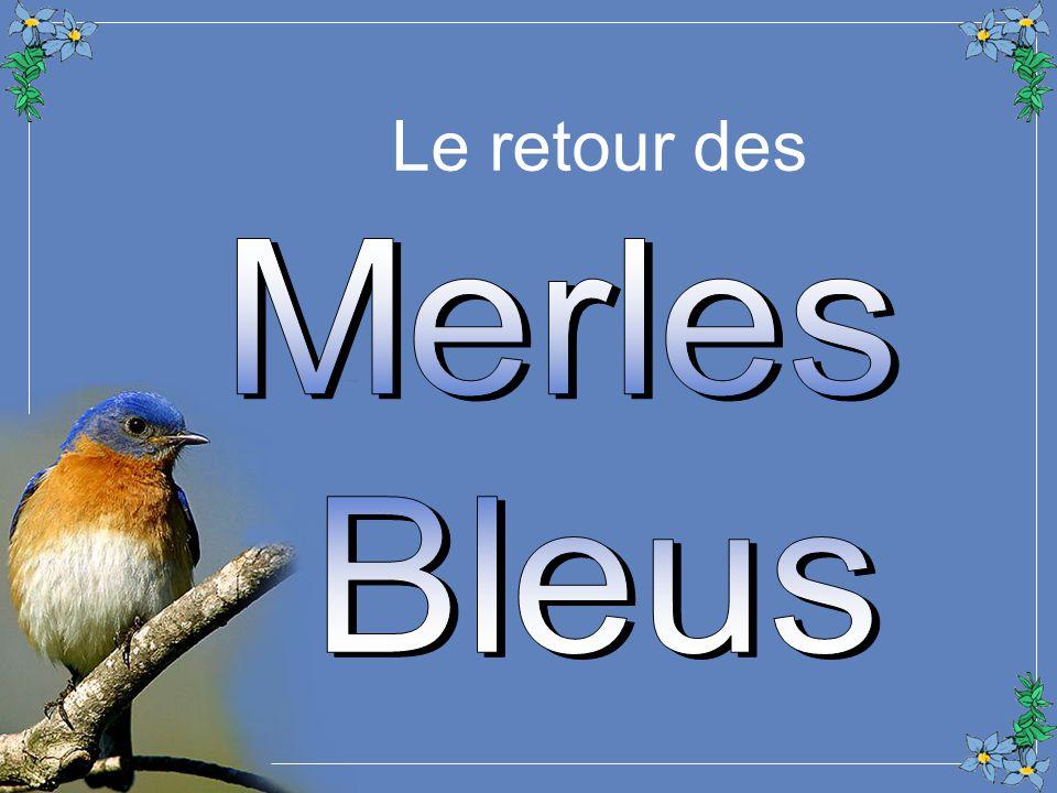 Le retour des Merles Bleus