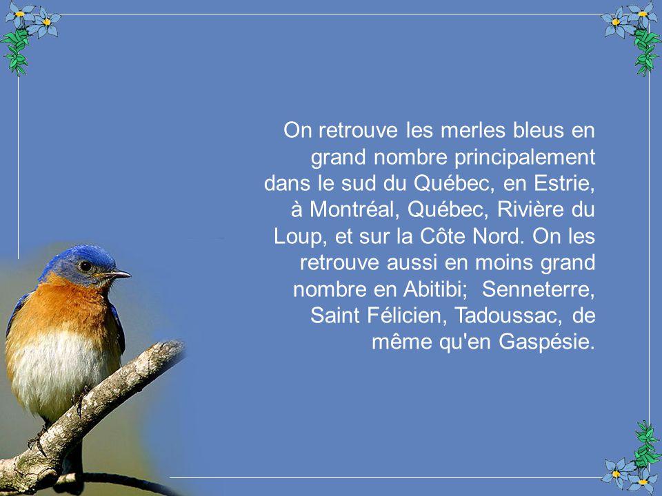 On retrouve les merles bleus en grand nombre principalement dans le sud du Québec, en Estrie, à Montréal, Québec, Rivière du Loup, et sur la Côte Nord.