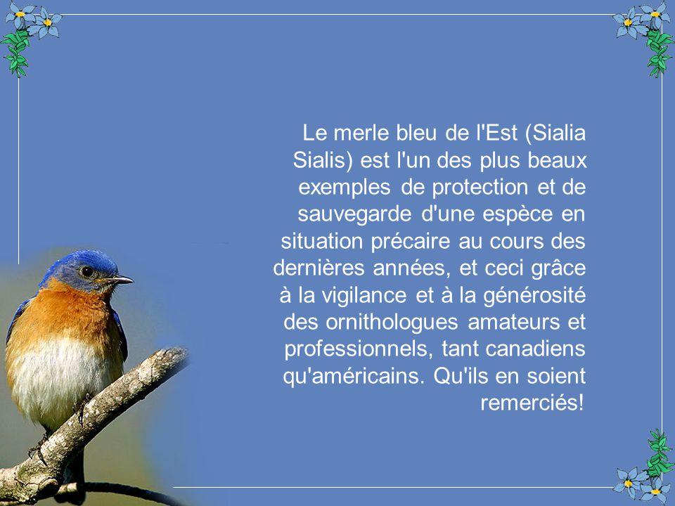 Le merle bleu de l Est (Sialia Sialis) est l un des plus beaux exemples de protection et de sauvegarde d une espèce en situation précaire au cours des dernières années, et ceci grâce à la vigilance et à la générosité des ornithologues amateurs et professionnels, tant canadiens qu américains.