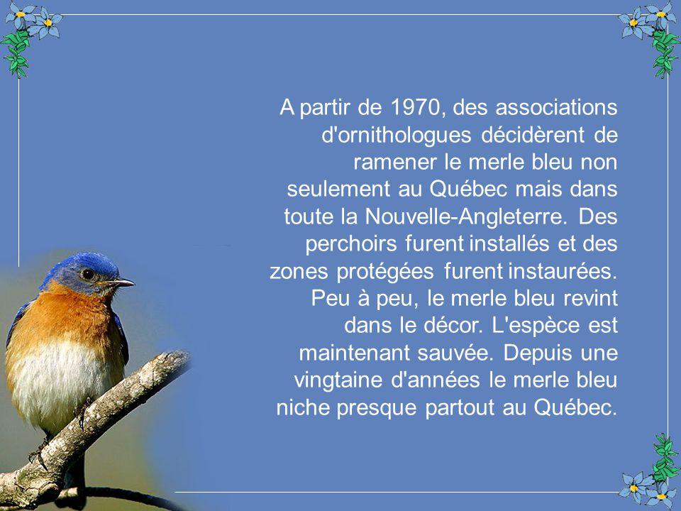A partir de 1970, des associations d ornithologues décidèrent de ramener le merle bleu non seulement au Québec mais dans toute la Nouvelle-Angleterre.