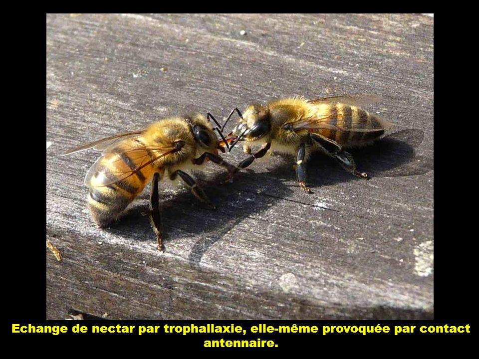 Echange de nectar par trophallaxie, elle-même provoquée par contact