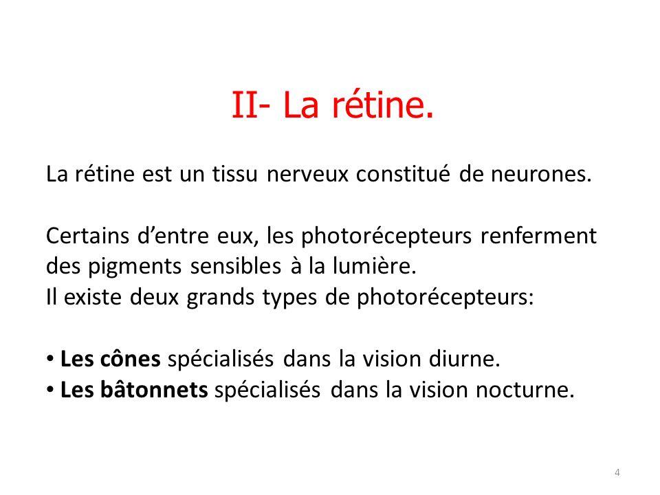 II- La rétine. La rétine est un tissu nerveux constitué de neurones.
